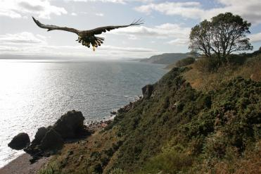sea-eagle-black-isle